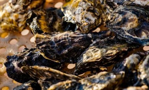 Comercialização de ostras na Ponta de Baixo, em São José, está liberada pela Secretaria de Agricultura