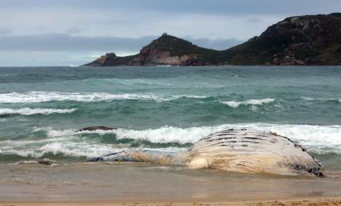 Florianópolis já teve nove baleias-jubarte mortas em 2021, diz associação
